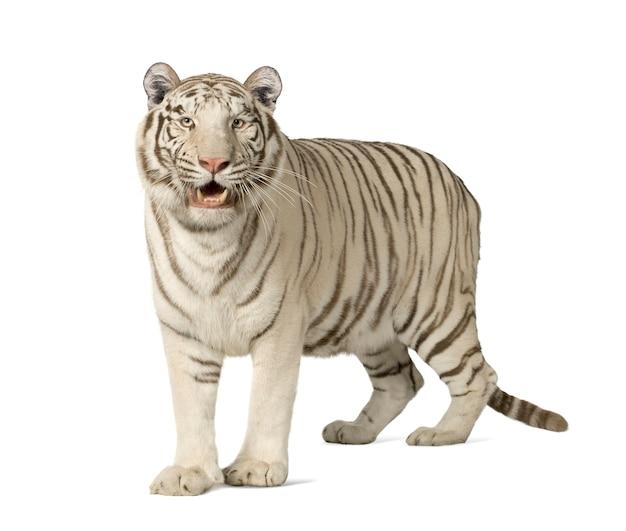 Tigre branco na frente de um branco