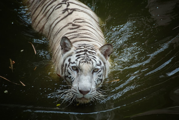 Tigre branco nadando