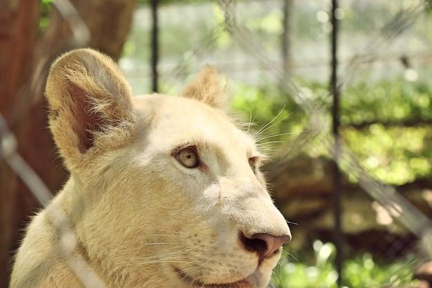 Tigre branco no jardim zoológico