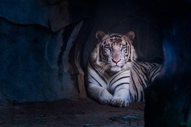 Tigre branco olhando da caverna