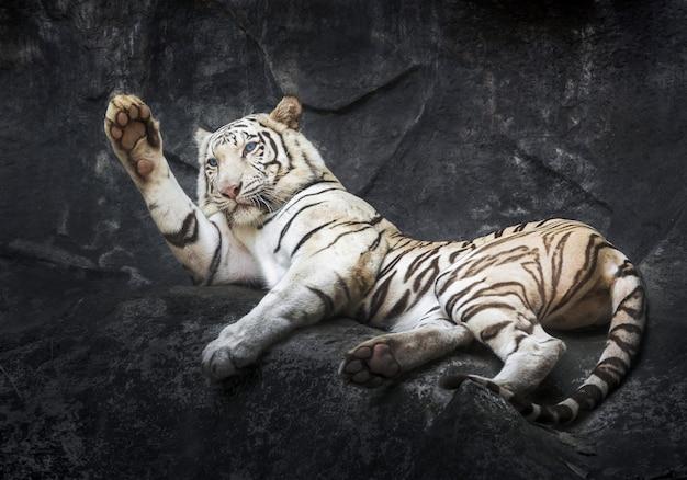 Tigre branco siberian que relaxa na vertente da rocha.