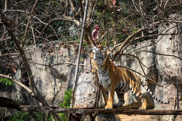 Tigre comendo, tigre está mostrando o comportamento de caça de comida no zoológico