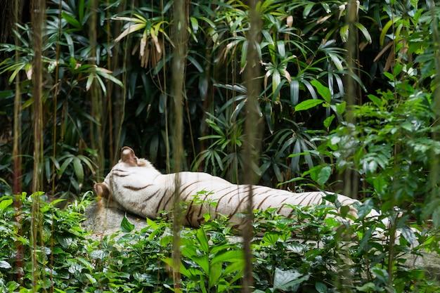 Tigre de bengal branco de relaxamento em singapura.