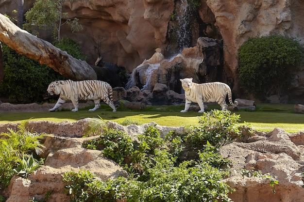 Tigre de bengala branco e tigresa.