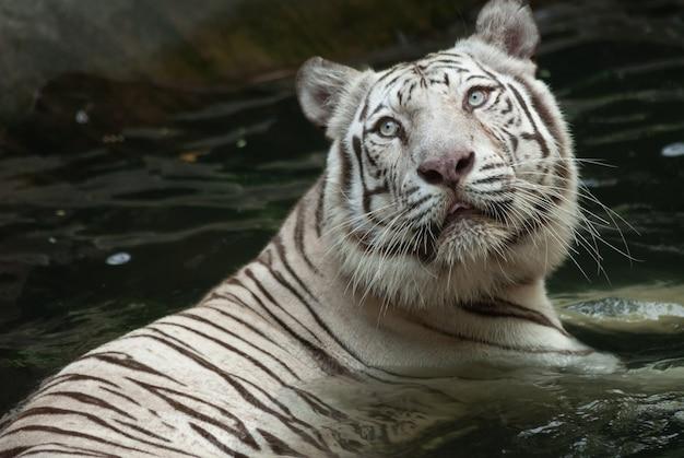 Tigre de bengala branco lentamente vadeando em águas rasas