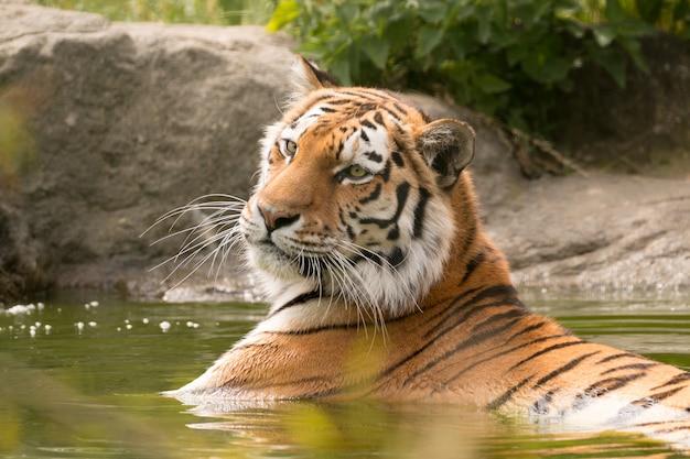 Tigre de bengala deitado na água com a cabeça erguida
