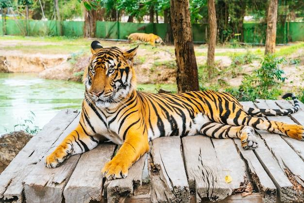 Tigre de bengala deitado na madeira