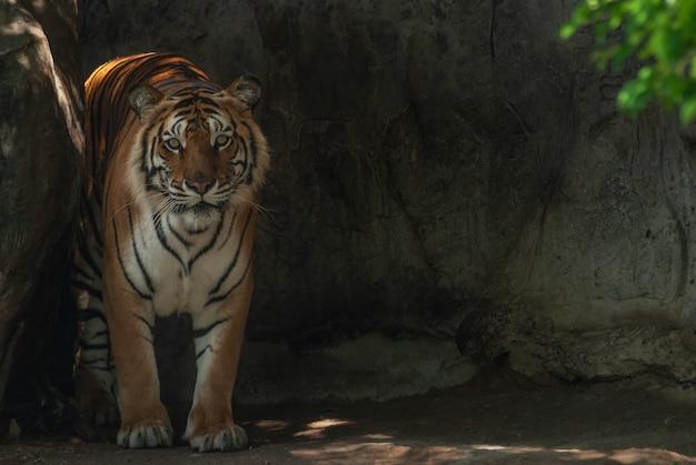 Tigre de bengala em repouso (panthera tigris) na parede de pedra