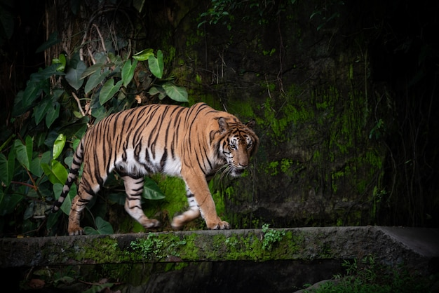 Tigre de bengala, grande vida selvagem carnívora na floresta