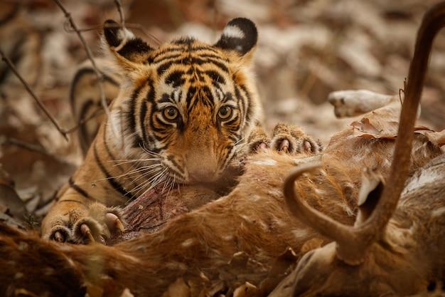 Tigre de bengala incrível na natureza com sua presa