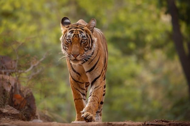 Tigre de bengala incrível na natureza