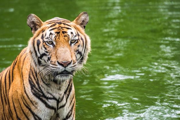 Tigre de bengala na floresta com espaço de cópia