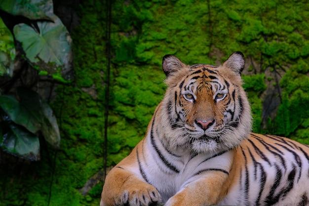 Tigre de bengala na floresta mostra cabeça e perna