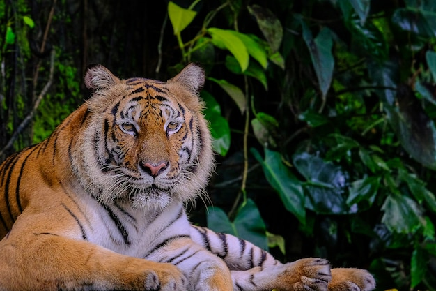 Tigre de bengala na floresta mostrar a cabeça e as pernas