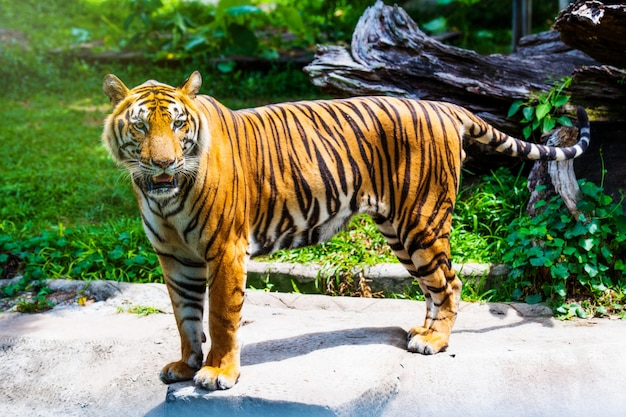 Tigre de bengala na floresta
