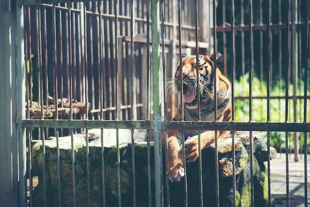 Tigre de bengala na gaiola, vida selvagem no conceito de jaula
