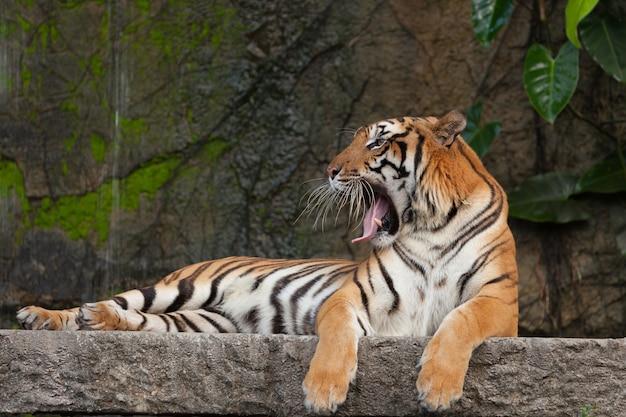 Tigre de bengala um grande bocejo mostrando a língua e os dentes