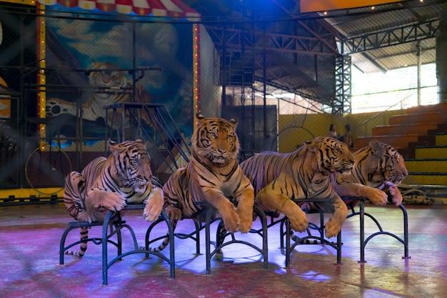 Tigre deitado à espera de um show no zoológico