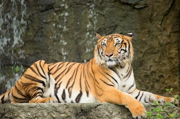 Tigre deitado em uma cachoeira de pedra.