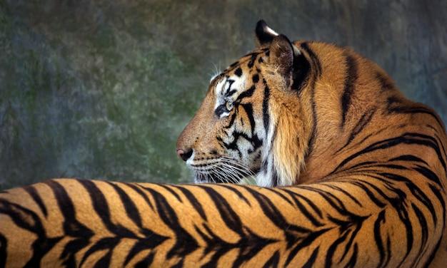 Tigre deitado mostrando as costas