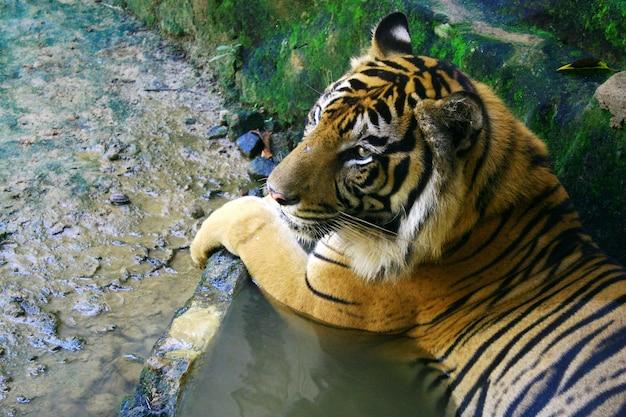 Tigre descansando e mergulhando na água, animais selvagens