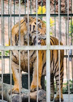 Tigre em gaiola