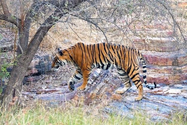 Tigre em ranthambore
