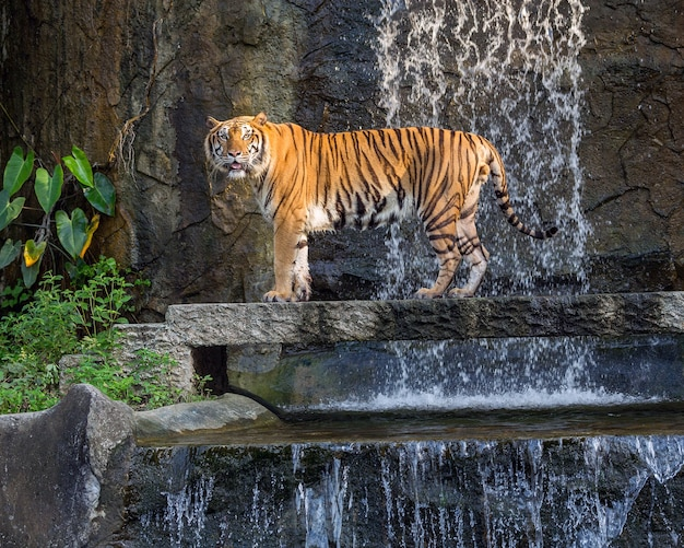 Tigre está em pé na atmosfera natural.
