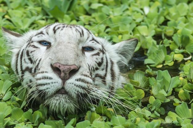 Tigre fêmea branco nadando na lagoa