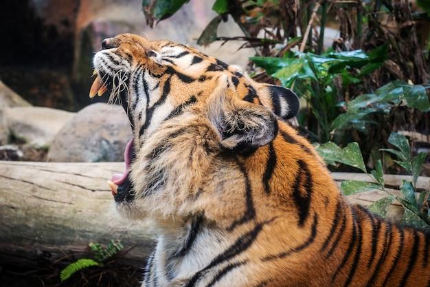 Tigre feroz preto à terra.