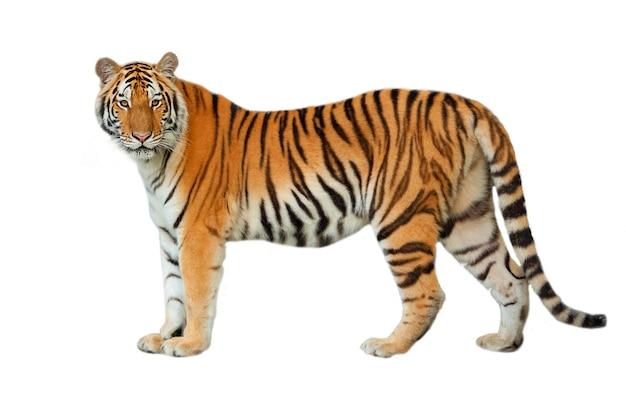 Tigre isolado no fundo branco.