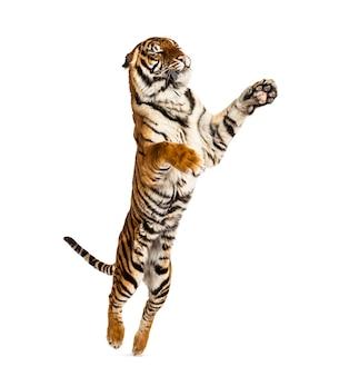 Tigre macho pulando, gato grande, isolado no branco