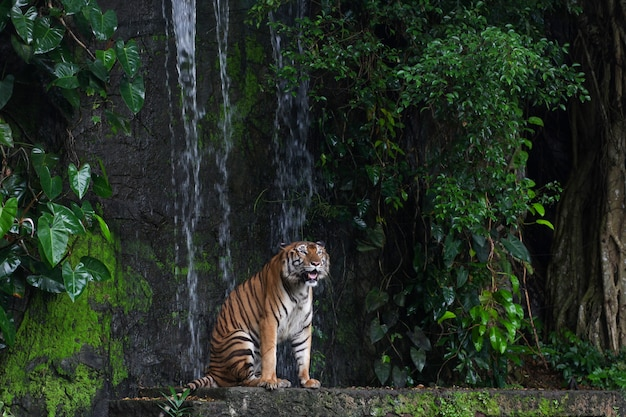 Tigre mostra língua sitdown na frente de mini cascata