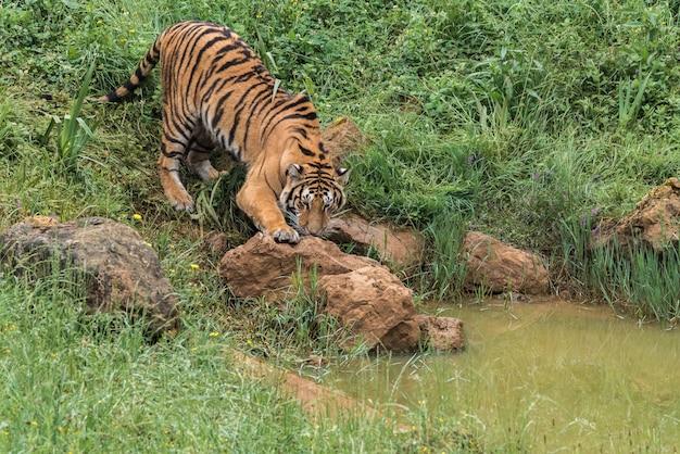 Tigre na grama verde