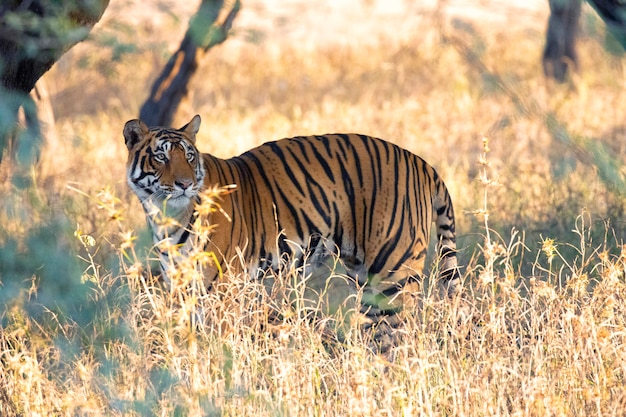 Tigre na vida selvagem índia