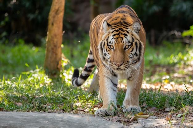 Tigre no habitat natural.