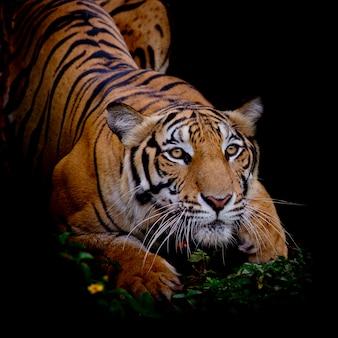 Tigre olhando sua presa e pronto para pegá-lo Foto Premium