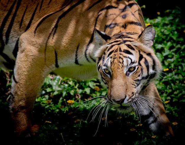 Tigre preto e branco olhando sua presa e pronto para pegá-lo.