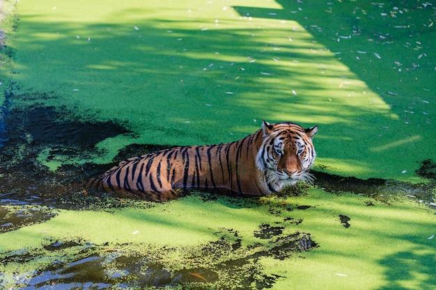 Tigre relaxando na piscina. tigre no parque zoológico
