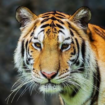 Tigre, retrato de um tigre de bengala.