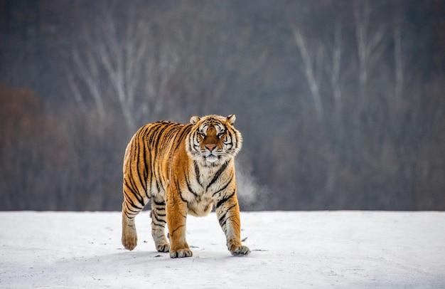 Tigre siberiano em um dia de inverno