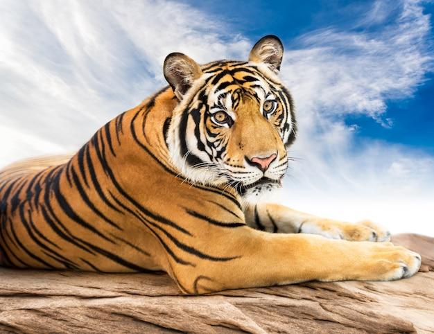Tigre siberiano olhando