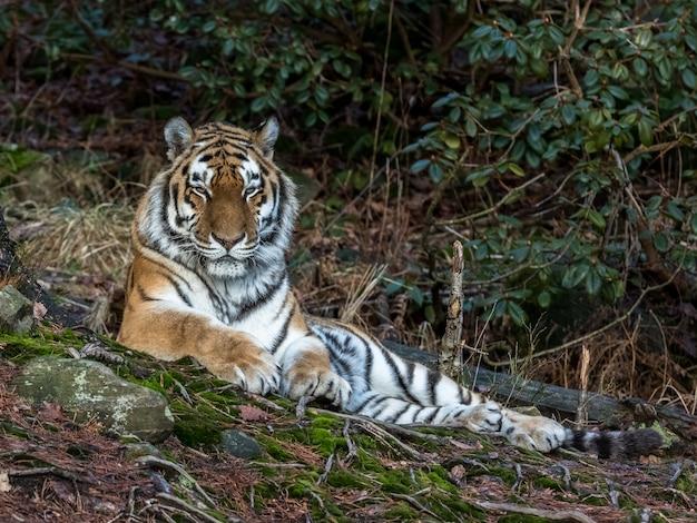 Tigre siberiano, panthera tigris altaica, descansando na floresta. jardim zoológico.