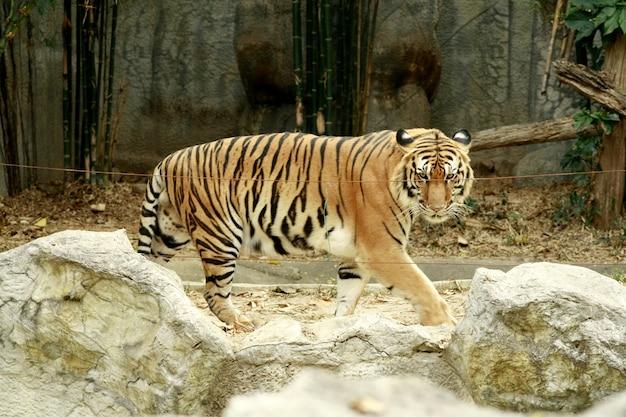 Tigre, tailandia
