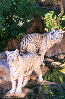Tigres brancos em um zoológico da espanha