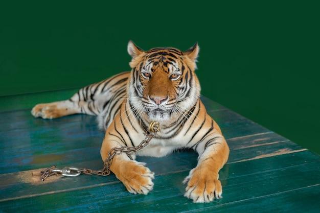 Tigres de bengala acorrentados em mesas de madeira para turistas