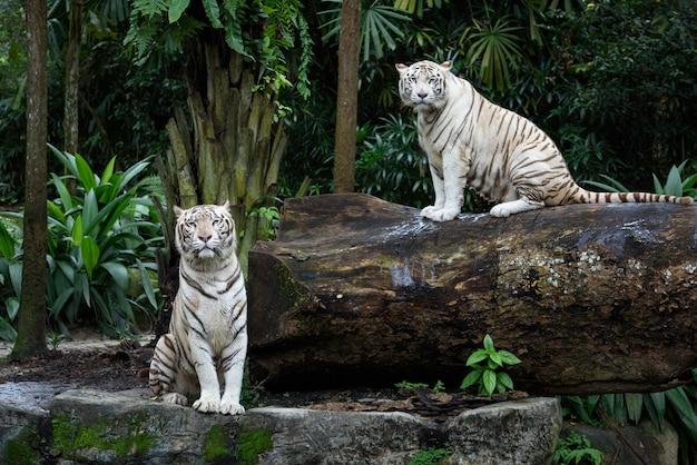 Tigres de bengala brancos em uma selva