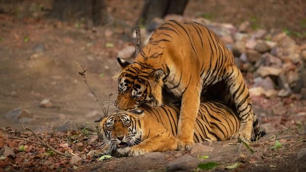Tigres de bengala incríveis na natureza