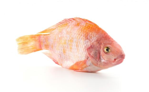 Tilapia vermelha