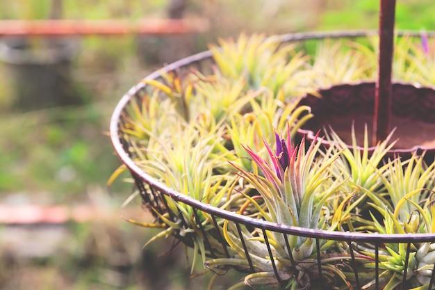 Tillandsia é planta de ar que cresce sem solo.